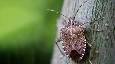 7 Facts You Might Not Know About Stink Bugs