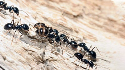 Does Liquid Bait Kill Carpenter Ants?
