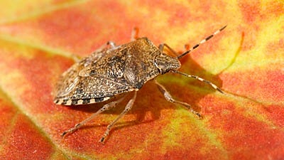 Have You Met the Stink Bug?