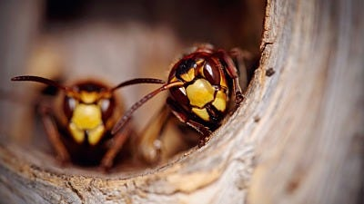 """How to Get Wasps And Hornets to """"Buzz Off"""" and Keep Them Away"""