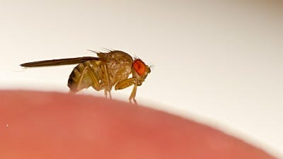 How to ID Fruit Flies, Drain Flies and Fungus Gnats