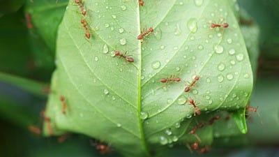 Rain, Rain Brings Ants Your Way