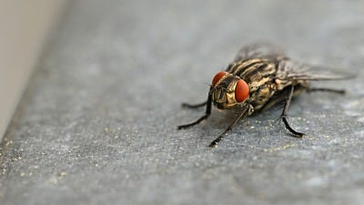 Why Do I Have So Many Flies?
