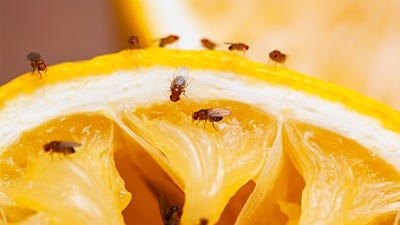 The Downside of DIY Fruit Fly Traps