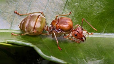 The Secrets of Royalty: Amazing Facts About Queen Ants