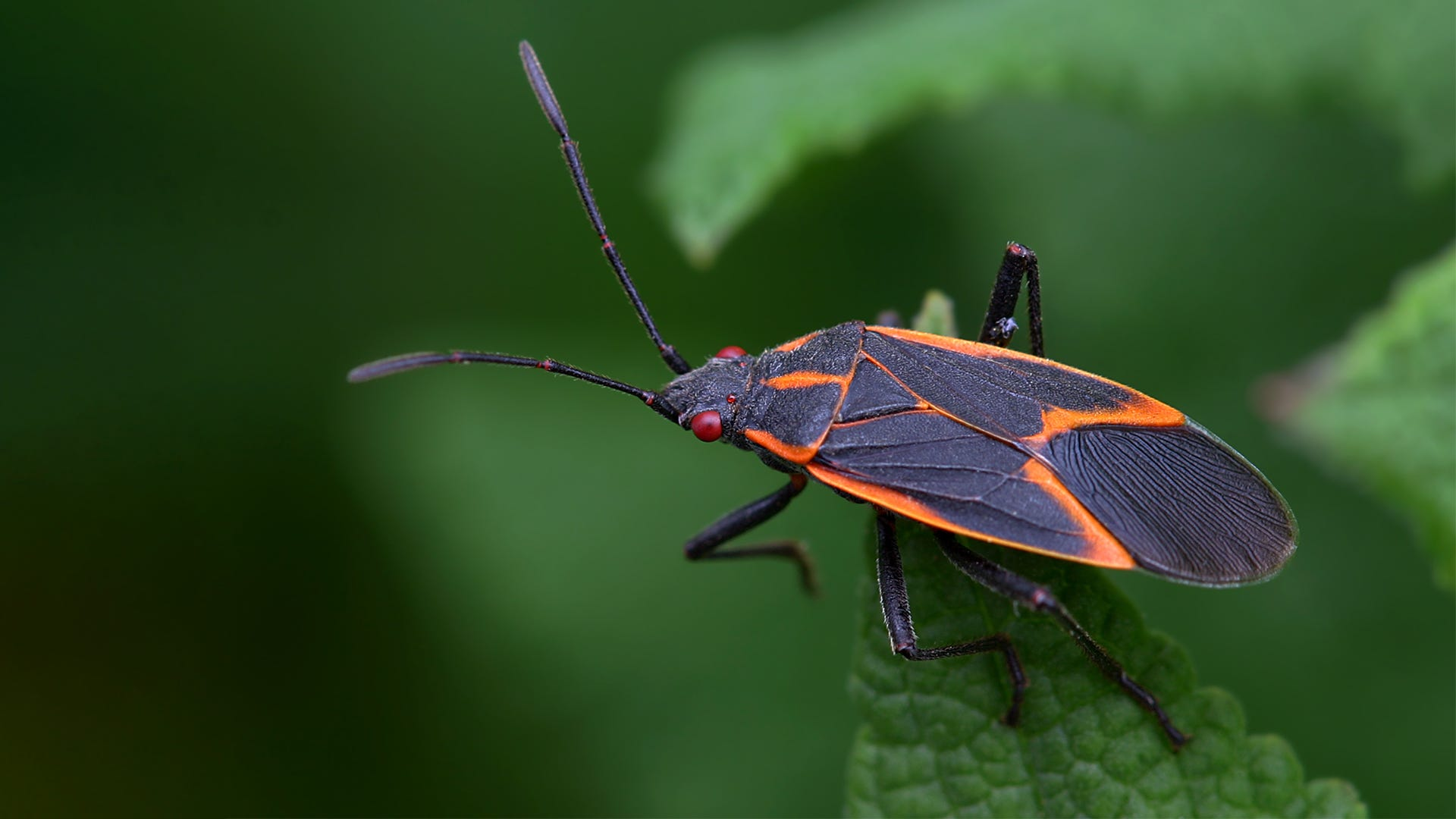 10 Boxelder Bug Questions Answered
