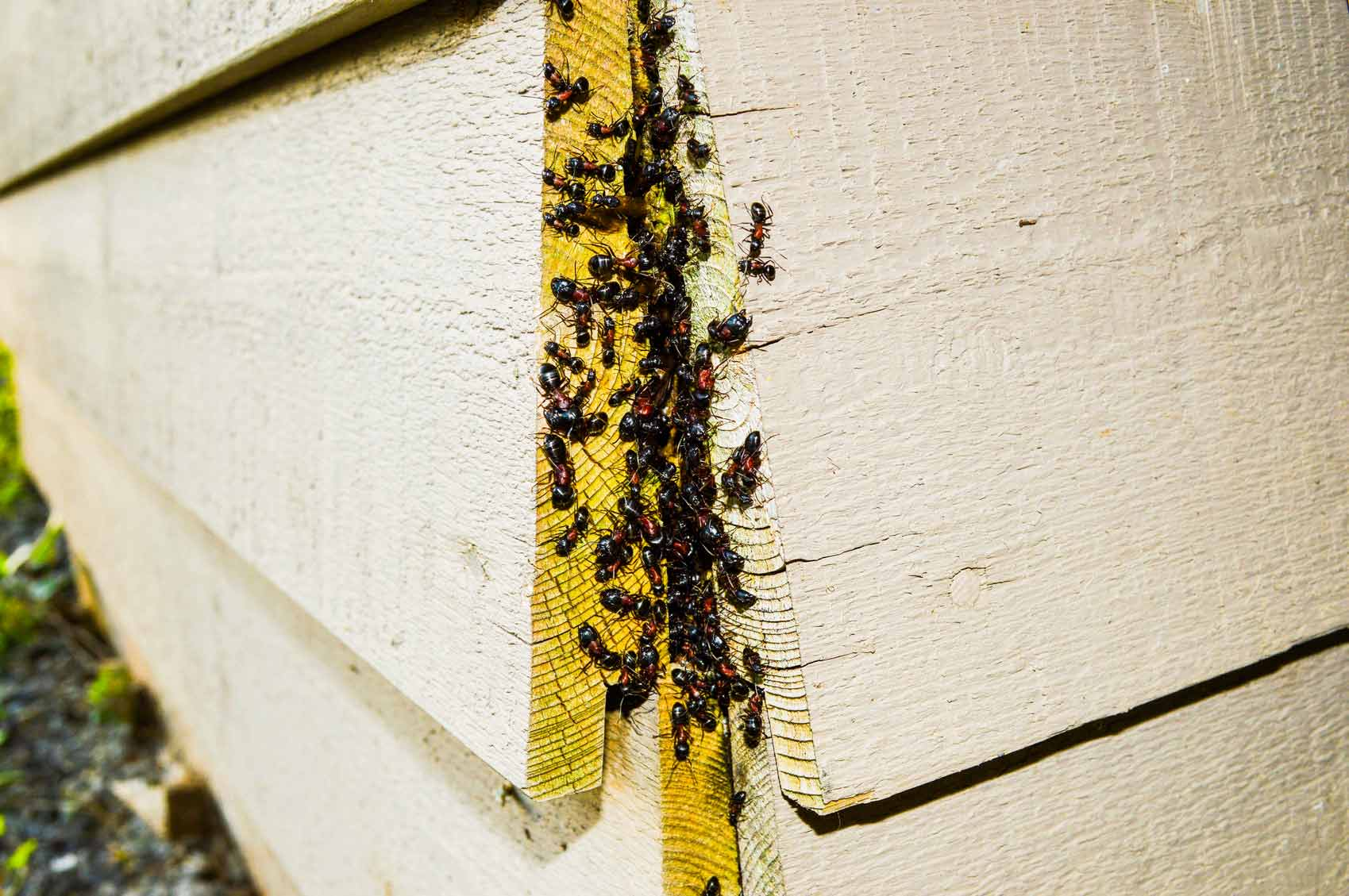 ants under siding