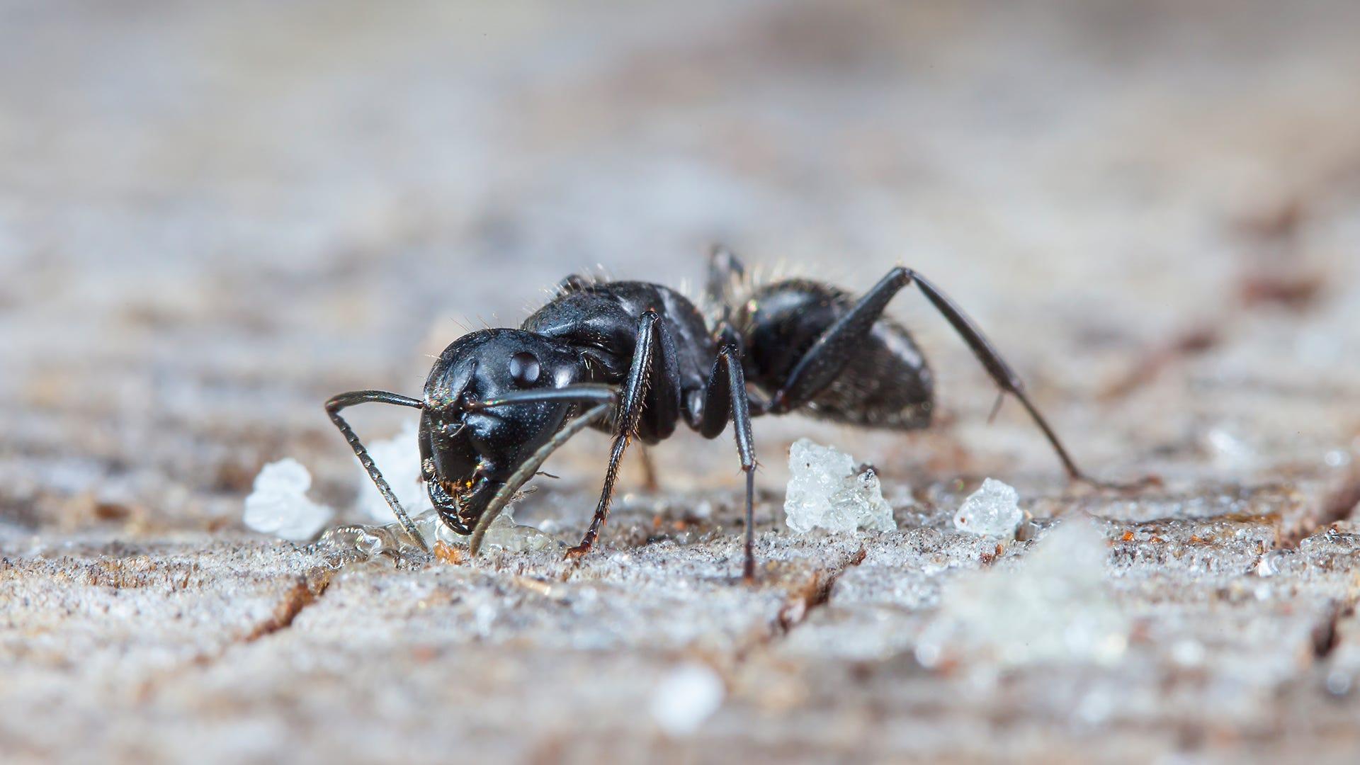 Common Household Ants