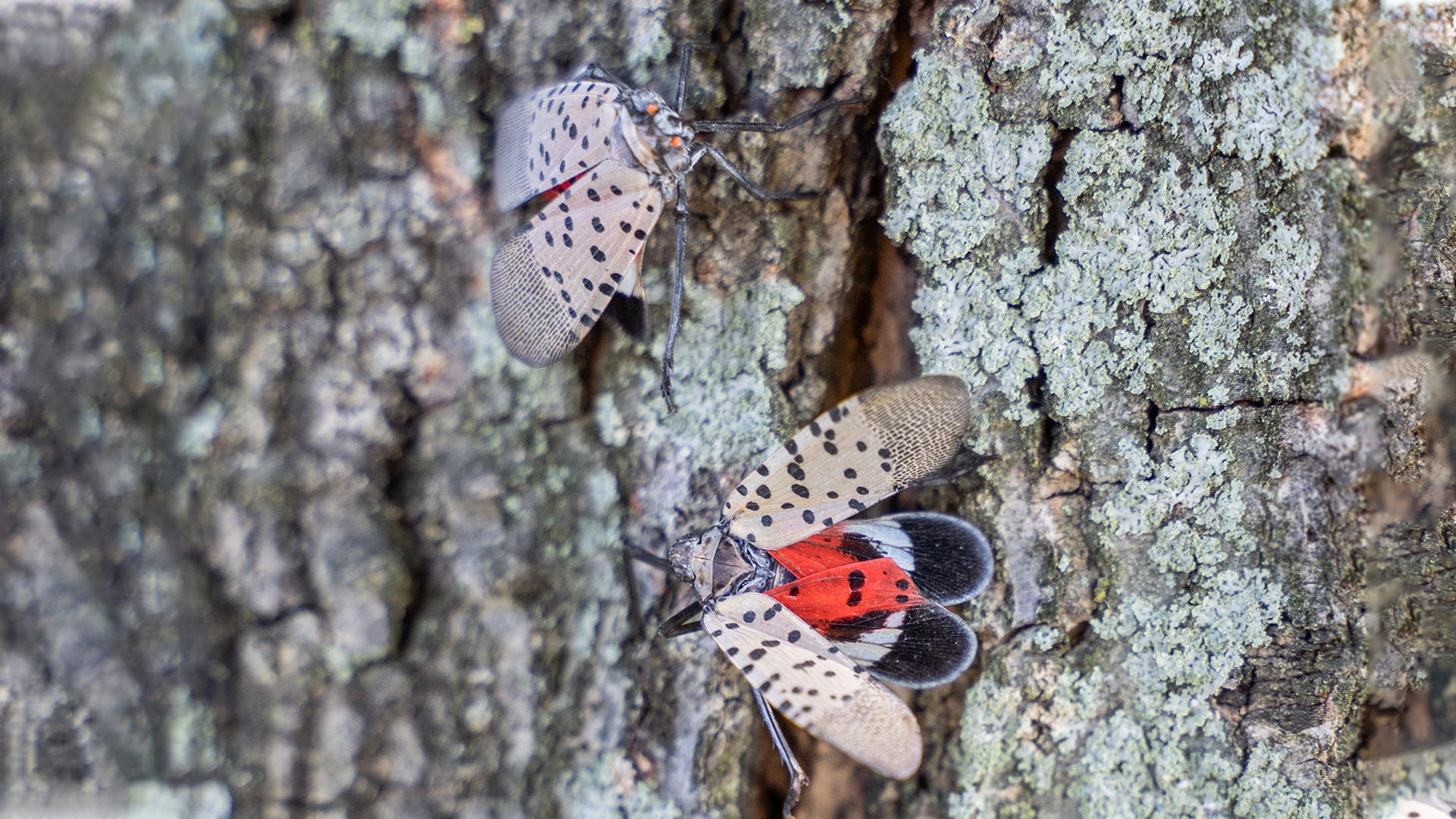 How You Can Help Stop Spotted Lanternflies
