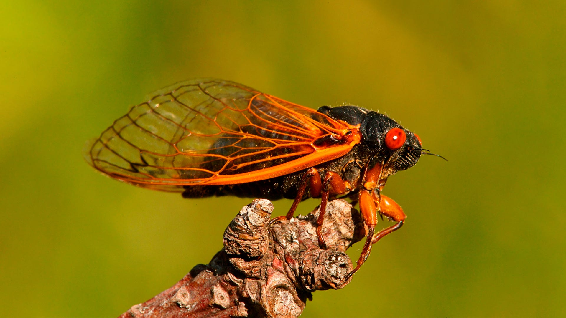 It's Cicada Season: Another Year, Another Invasion of Truly Ugly Bugs