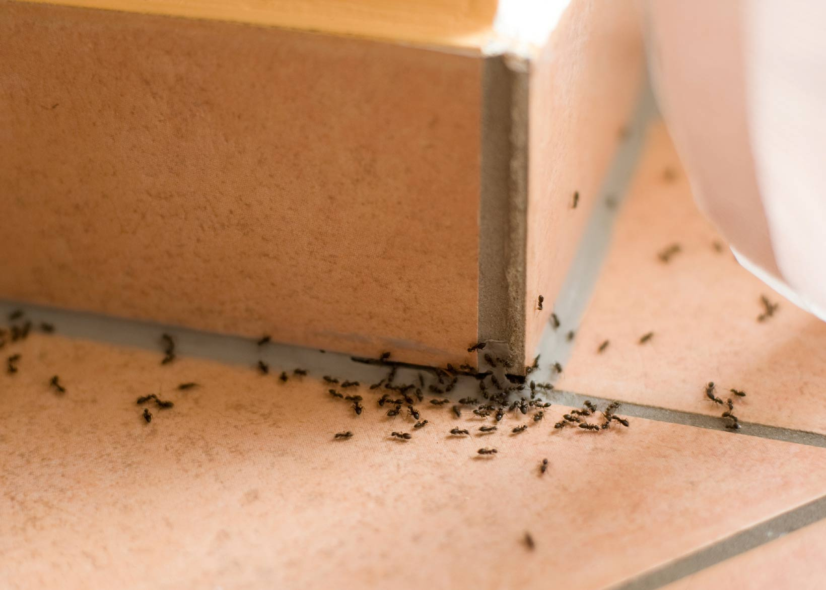 ants coming into the home