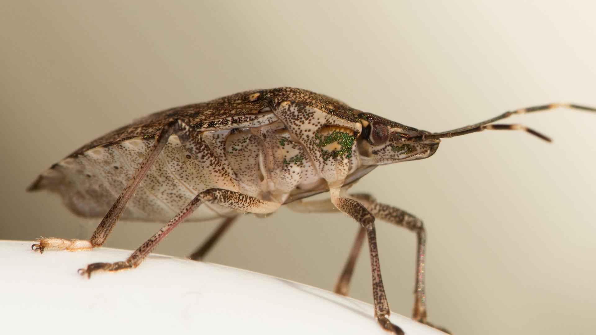 close up stink bug