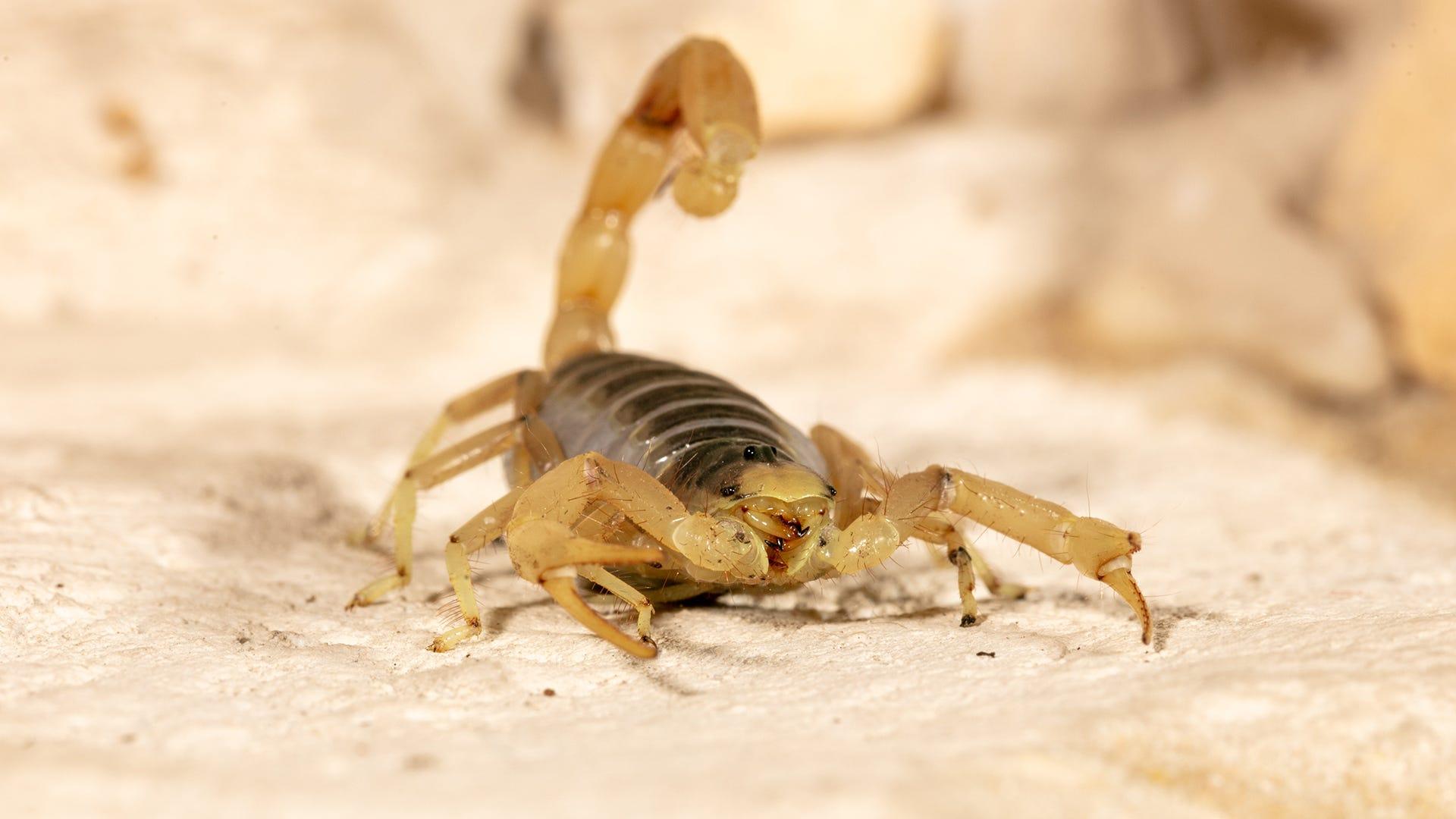 preventing scorpions