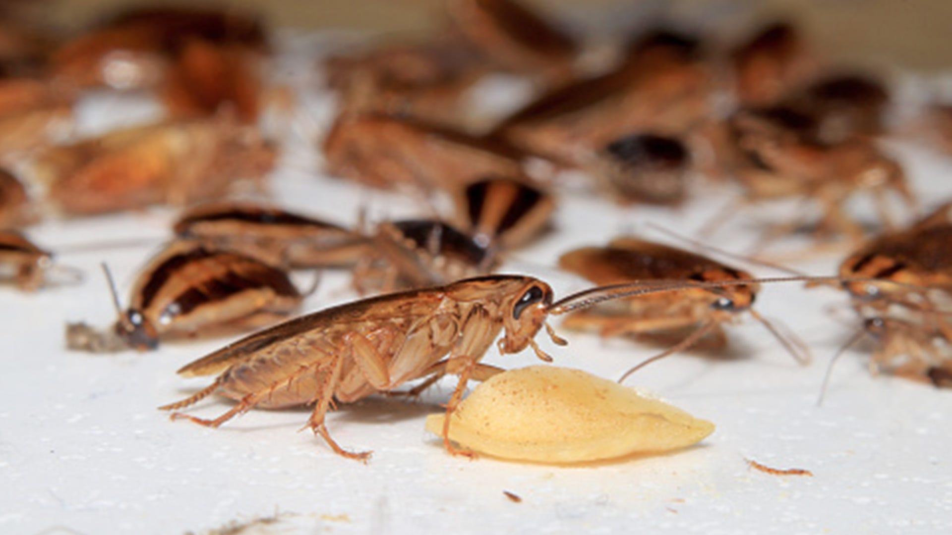 roach eating