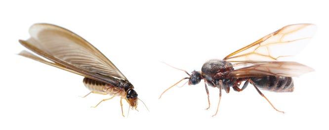 termite left, flying ant right